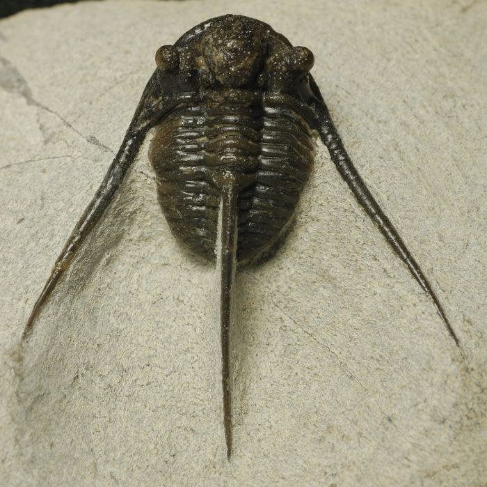 Trilobite - On matrix - Cyphaspis eberhardiei Chatterton et al., 2006 - 7×5×1.5 cm