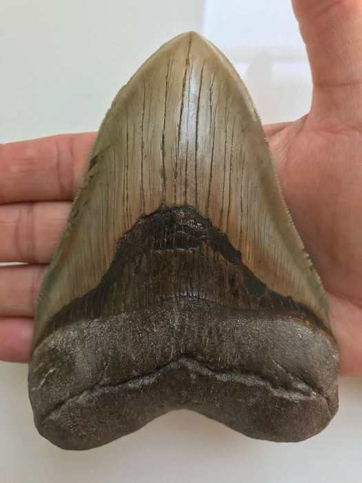 Fossil Megalodon Shark Tooth - best quality Serrations 13.4 cm (5.28 inch) - Carcharocles megalodon