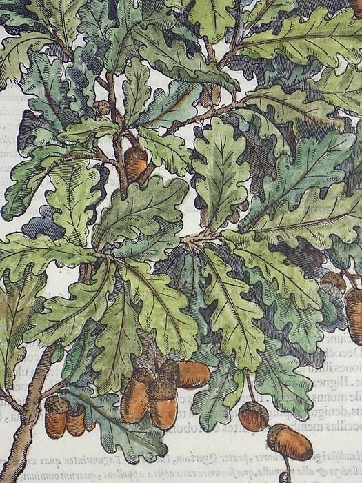 Giorgio Liberale (1527–79); W. Meyerpeck - Oak Tree. Folio woodcut on one leaf - 1562