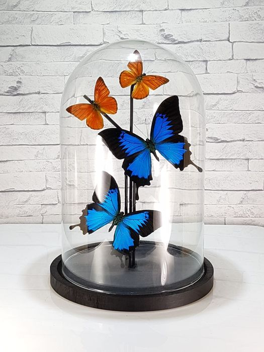Blue Emperor and Orange Albatross Butterflies under Glass Dome - Papilio ulysses and Appias nero - 32×20×20 cm