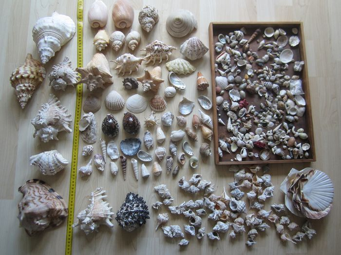Accumulation or Seasnail Shells Some large, exotic species