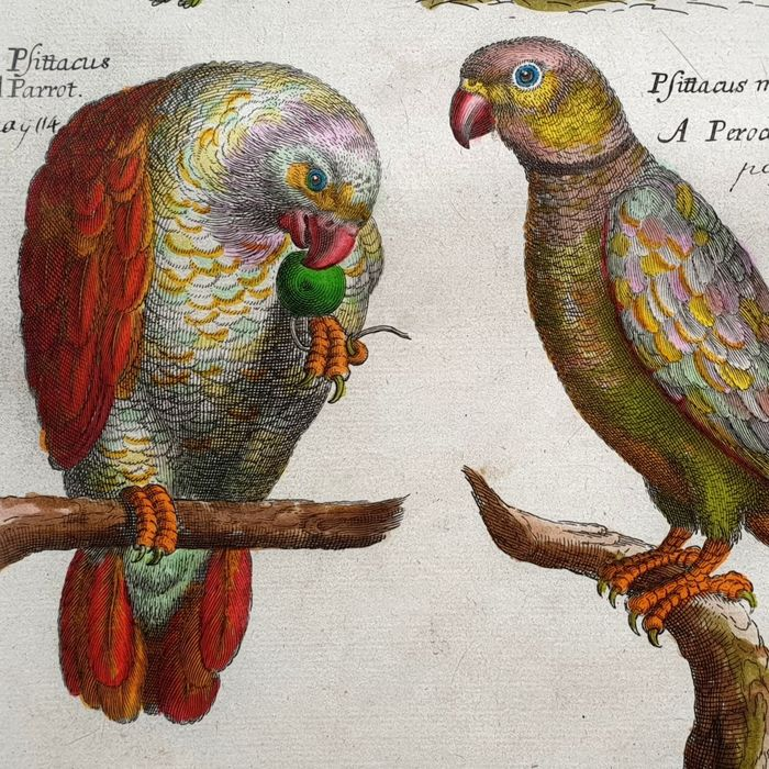 Emma Willughby (17th century)  - A common Parrot (handcoloured)