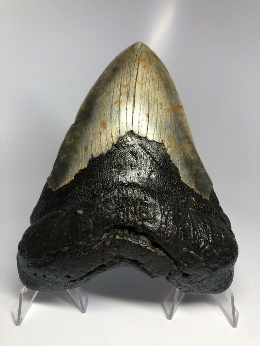 Megalodon 6.30 inches - 16.00 cm - Tooth - Carcharocles megalodon