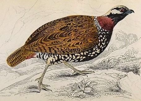 18 hand coloured engravings by William Home Lizars (1788-1859) - Game Birds: Grouse Francolin Ortyx Quail - 1834