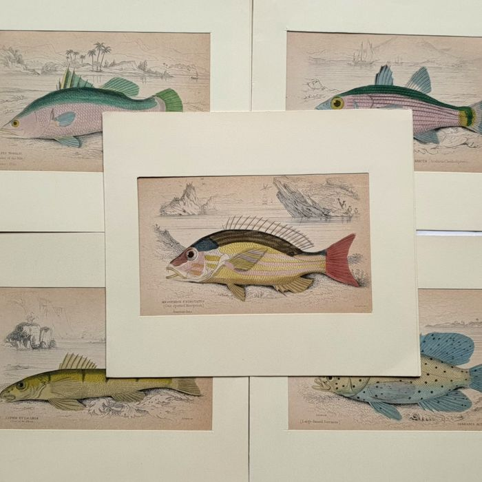 5 prints - various artists (19th century) - Collection fishes, Serranus Activelis & other - handcoloured