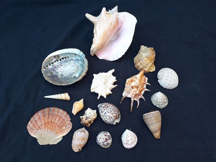 Colección de conchas de caracol de mar incluye Queen Conch - various species - 18×15×19 cm - 15