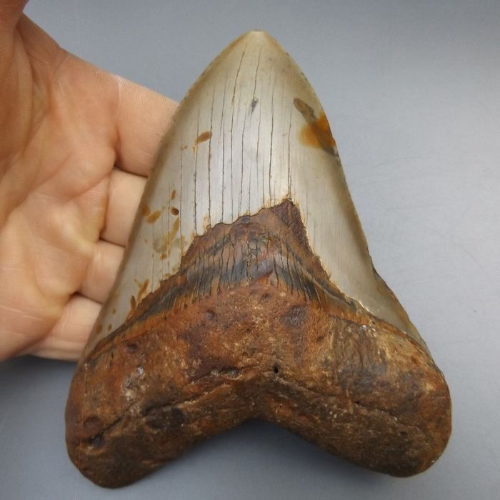 Large Megalodon - Shark Tooth - 137×102×23 mm