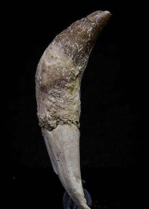 Tooth - Pappocetus lugardi (Whale Ancestor) Rooted Incisor
