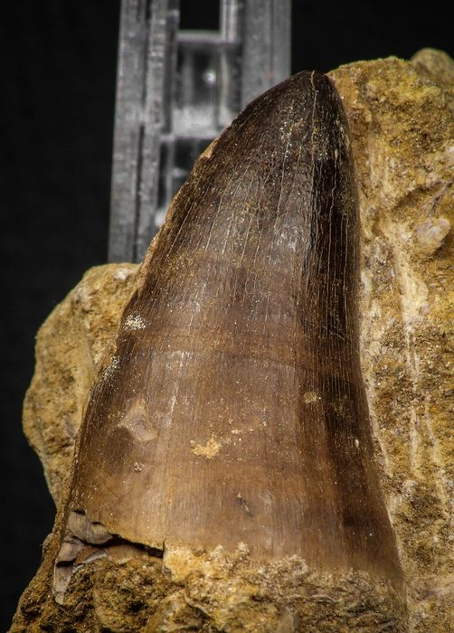 Tooth - Large Prognathodon curii (Mosasaur) Tooth in Natural Matrix