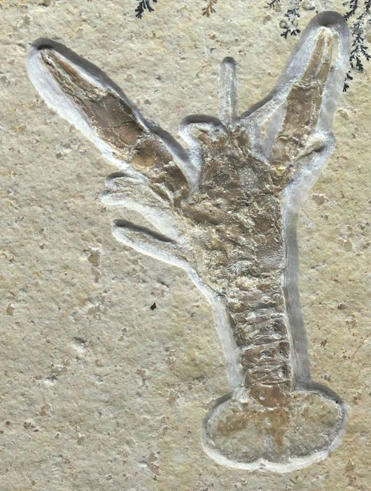 Outstanding Fossil Crustacean - Lobster - Ready for museum - Solnhofen - Eryma modestiformis ( 4.6 cm ) - 8.6×8×1 cm