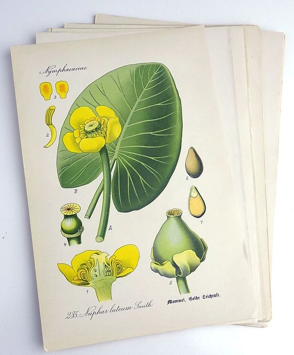 Zeyschwitz - Lot of 20 Botanical Prints by Zeyschwitz - all chromolithographs - 1886