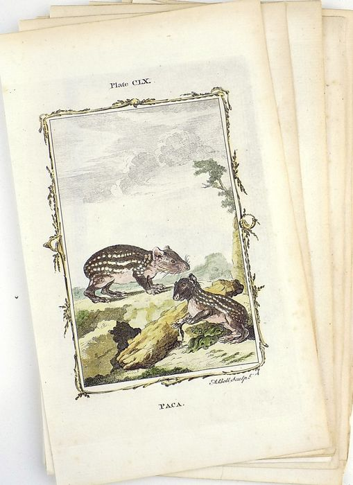 Buffon - Lot of 15 hand coloured engravings of Mammals - 1780