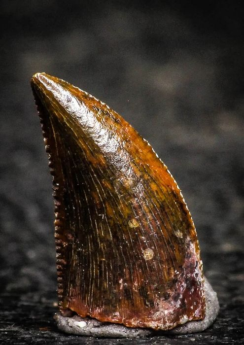Teeth - Well Preserved 0.54 Inch Dromaeosaur Raptor Tooth Cretaceous KemKem Beds