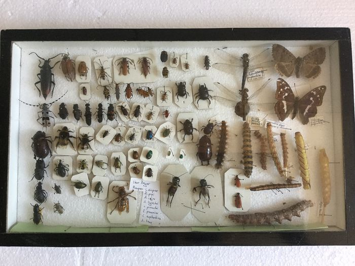 Interesting vintage Amateur Insect Collection museum-style cased, with data labels - 3×24×40 cm
