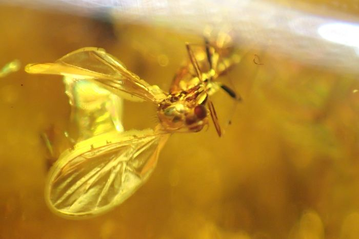 Amber - A clearly visible insect in Baltic amber 20 gr! - 64×20×31 mm