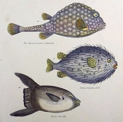 6 original hand coloured engravings by J. W. Lowry (1803–1879) - Fish, Ichthyology: Angler, Blowfish, Eels, Sturgeon etc - 1830
