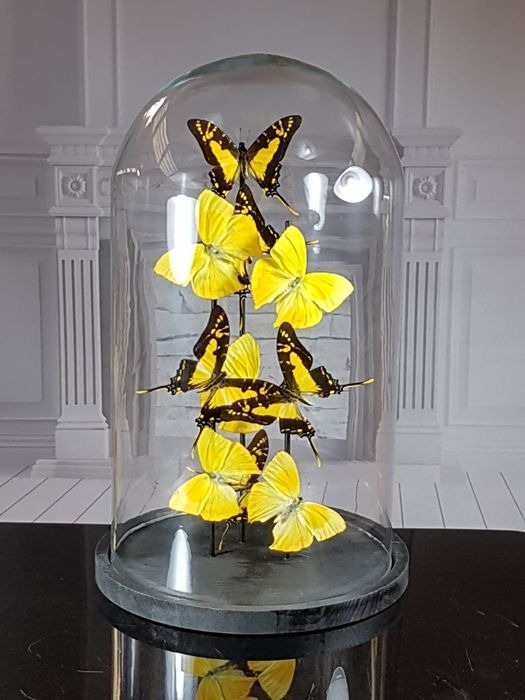 Yellow-tailed Sulfur and Orange kite Swallowtail Butterflies under large glass dome - Phoebis rurina and Protographium thyastes - 40×23×23 cm