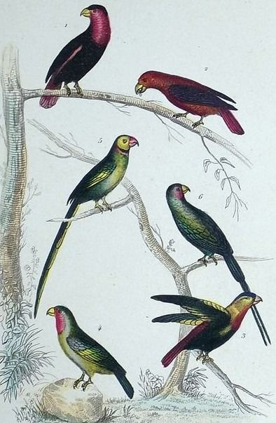 10 engravings in rich and deep hand colour by an unknown artist - Ornithology, including Parrots, Finches, Sea Birds, Ducks, Waterbirds etc. - ca 1830