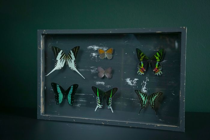 Mixed Swallowtails in Designer-type Frame - includes Graphium androcles - 3×43×27 cm