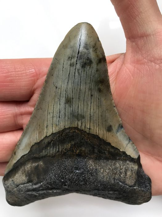 Megalodon Shark Tooth -  11.4 cm (4.49 inch) - Carcharocles megalodon