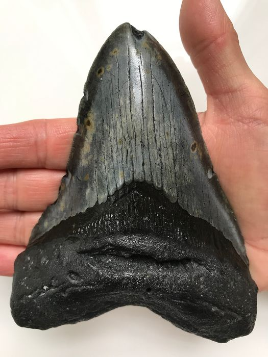 Huge Megalodon - tooth 14.5 cm (5.71 inch) - Carcharocles megalodon