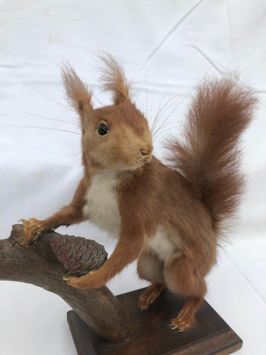 Eurasian Red Squirrel Full-body mount -  Sciurus vulgaris - 25×30×25 cm