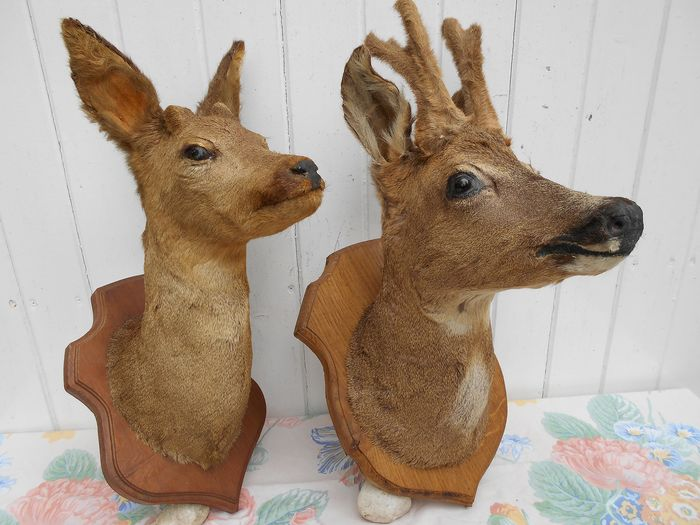 Roebuck Heads with Antlers in Bud and in Velvet - carved shields - Capreolus capreolus (2) - 54×46×57 cm