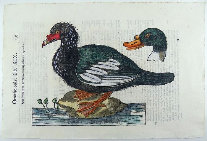 Conrad Gesner (1516-1565) - Bar-Headed Goose - Anas Indicus - Ornithology - Large hand coloured folio with 2 woodcuts