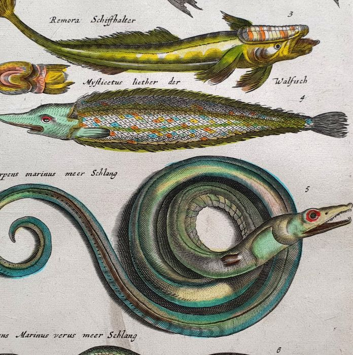 John Jonston & Merian Mattheus (17th century) - The Meer Schlang & other fish - fishes from Historia Naturalis handcoloured