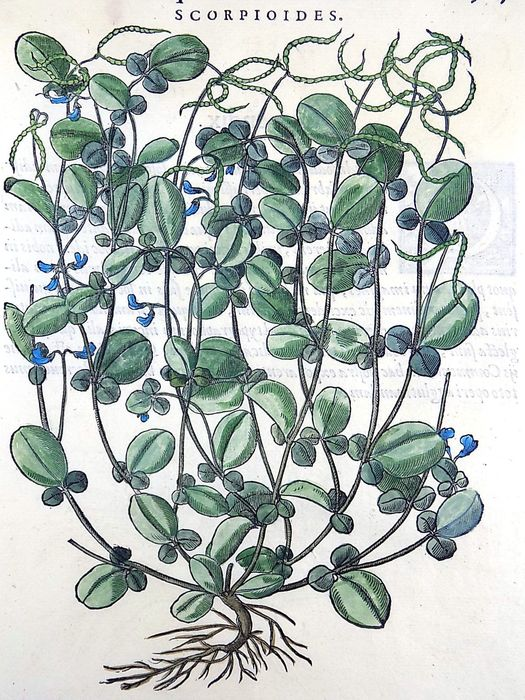 Giorgio Liberale (1527–79); W. Meyerpeck - Folio with large woodcut - Scorpioides [ Water Forget-Me-Not ] - Hand coloured - 1562