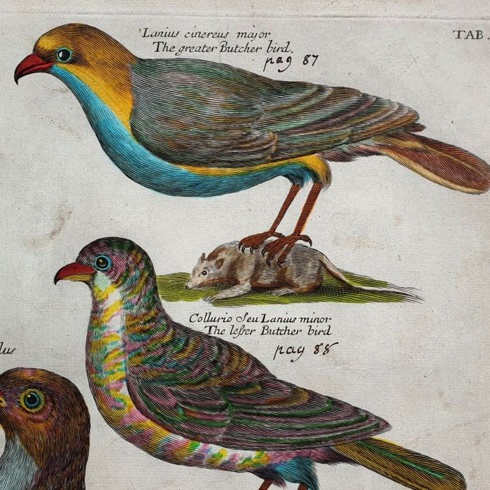 Emma & Francis Willughby  (17th century)  - The Greater Butcher bird - handcoloured large sized - Ornithology