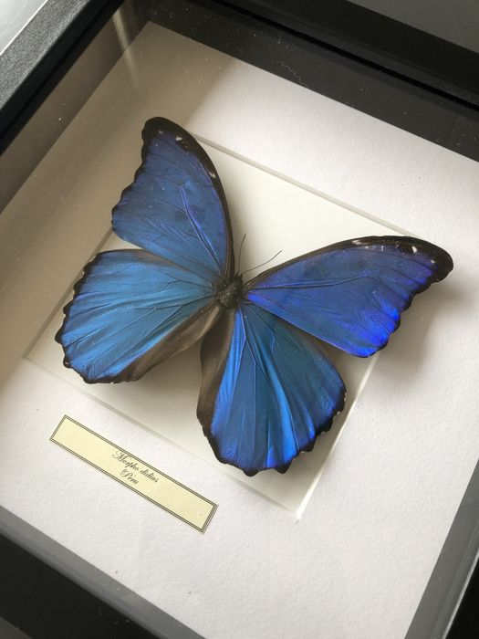 Giant Blue Morpho Butterfly Finely framed - Morpho didius - 25×25×4 cm