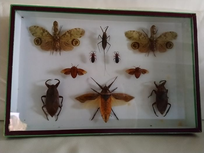 Fine, mixed Insects Collector's Case - various species - 39×26×5 cm