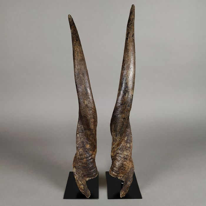Common Eland Horns polished and on custom plinths - Taurotragus oryx - 55.5×10×8 cm - 2