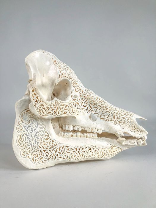 Balinese wild boar skull of good quality, with traditional Sanskrit मण् ala - Suidae sp. - 330×190×300 mm