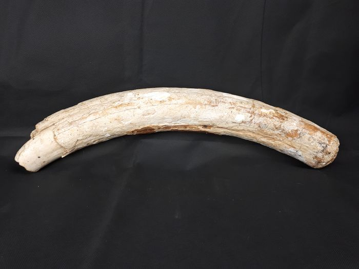 Woolly Mammoth - Tusk - Mammuthus primigenius - 7,5×7,5×59 cm