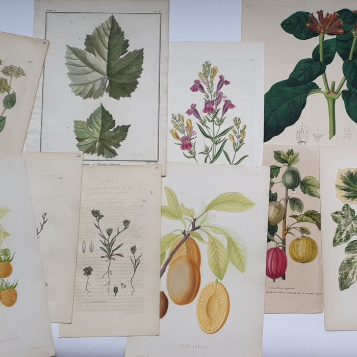 13 prints botanical plants - various artists (18th century - Various plants and botanical pomology collection handcoloured