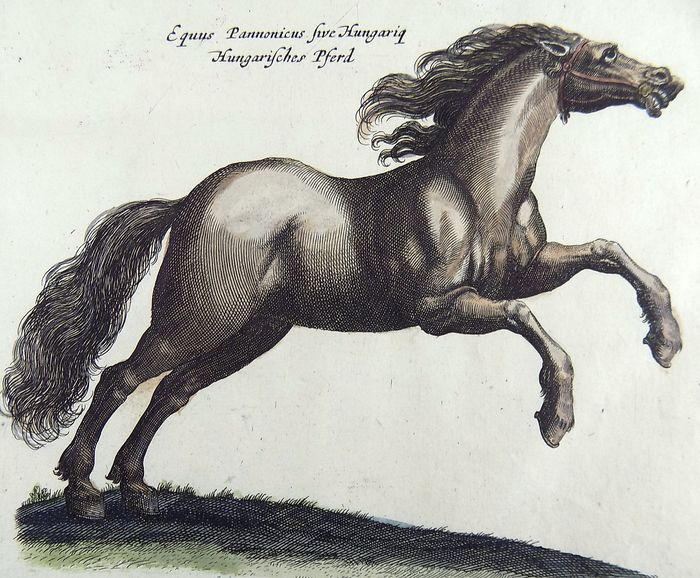 Matthäus Merian (1593-1650) - Equitation: Shire Horse, Hungarian Stud - Folio hand coloured engraving - 1657