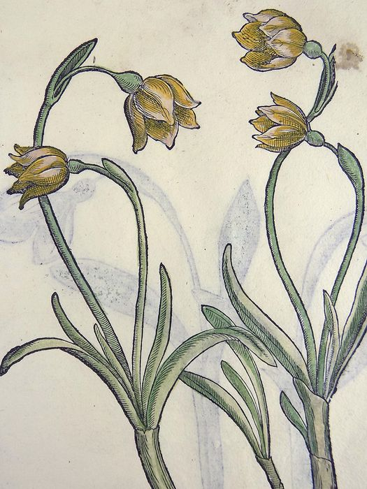 Giorgio Liberale (1527–79); W. Meyerpeck - Folio with 2 large woodcuts - Narcissus Daffodil - Hand coloured - 1562
