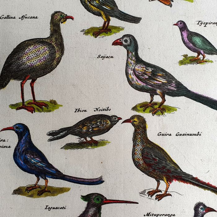 John Jonston & Merian Mattheus (17th century) - The Guira Tangeima - Birds ornithology from Historia Naturalis handcoloured