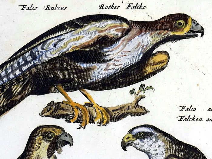 Matthäus Merian (1593-1650) - Ornithology - Birds of Prey - Falcon Merlin Gyrfalcon - Folio hand coloured engraving - 1657