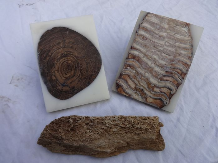 Woolly Mammoth - Molar, Tusk Bark and Tusk slice - Mammuthus primigenius - 115×82×9 mm