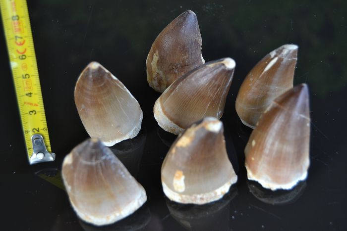 Set of large Mosasaurid  - Teeth - Mosasaur sp.