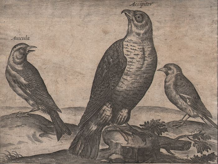 Adriaen Collaert (ca.1560–1618), After - A sparrow hawk and two other birds