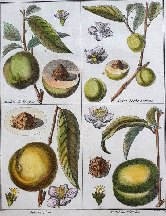 8 botanical pomology prints - various artists (18th 19th century - Wine and fruits botanical pomology