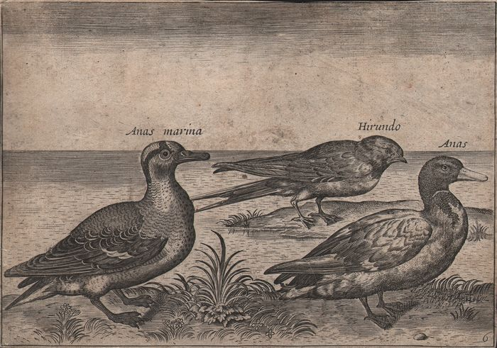 Adriaen Collaert (ca.1560–1618), After - Two ducks and a swallow