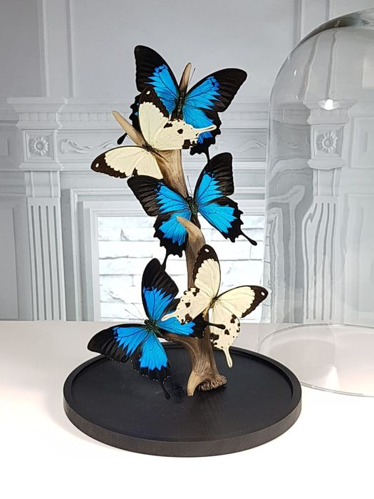 Best quality Swallowtail Butterflies set on Red Deer Antler, under large Glass Dome - Papilio ulysses & P. dardanus with C.elaphus - 40×23×23 cm