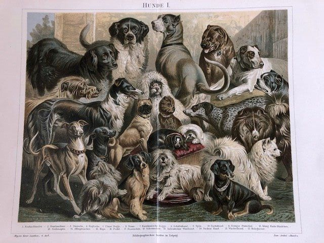 Meyers and Brockhaus - 5 antique prints of 29 different dog breeds