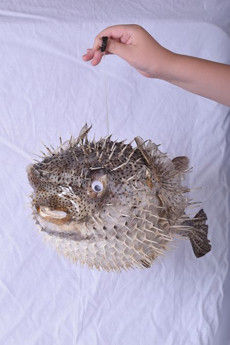 Extra large Balloon, or Porcupine Fish - Diodontidae sp. - 21×28×42 cm