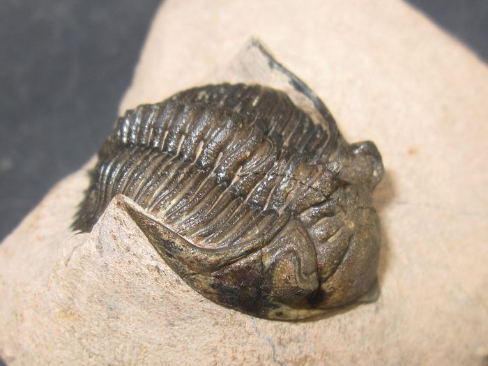 Nice detail Fossil trilobite with a tip on the head - On matrix - Metacanthina issoumourensis - 50×25×0 mm